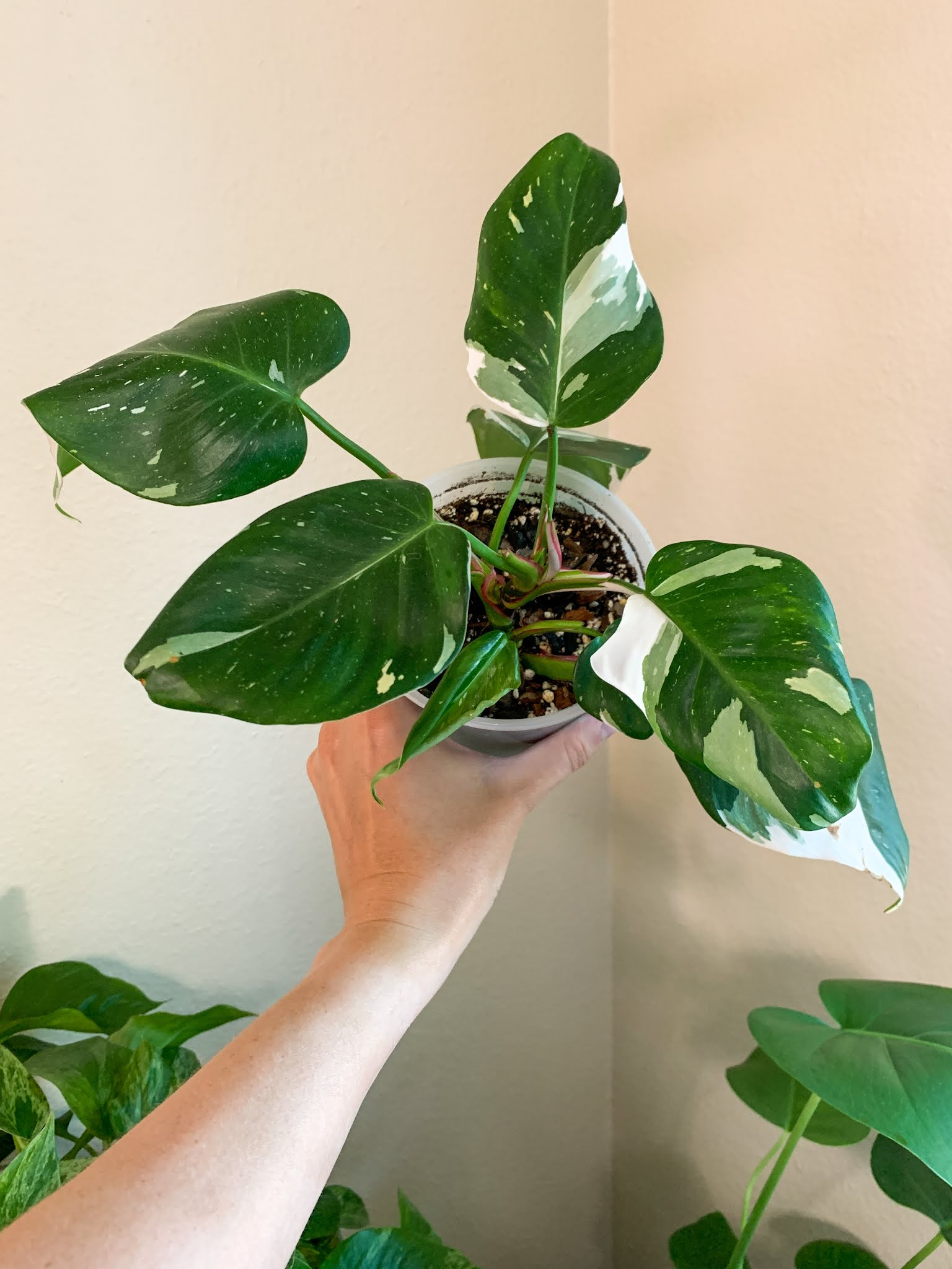 Me holding up my Philodendron White Princess to show the splashy white variegation