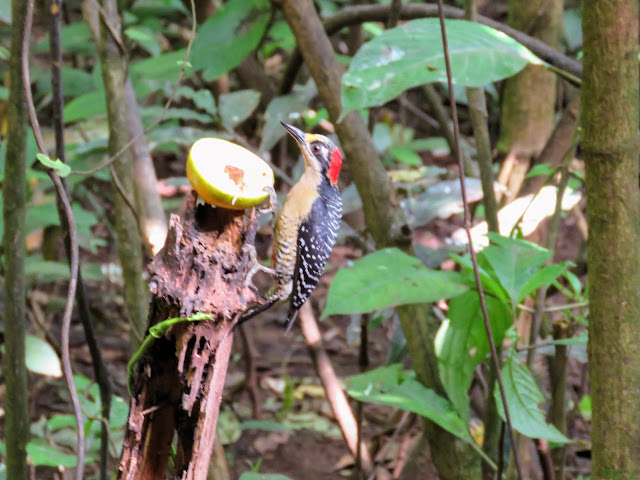 Costa Rica Birds: Black-cheeked woodpecker