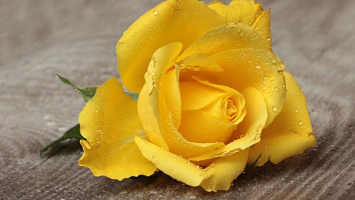 sarı gülün anlamı