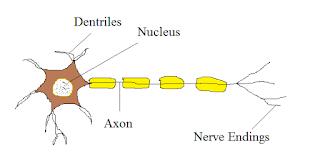 Nervous Tissues