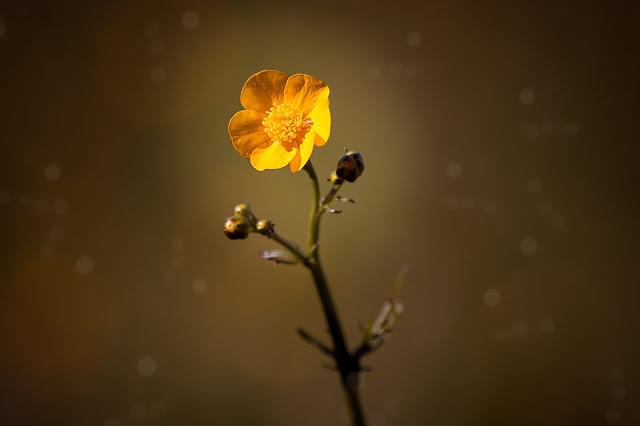 yellow-flower image