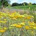 Floarea NEMURIRII: tratează HEPATITA, DISCHINEZIA BILIARĂ, elimină NISIPUL, ameliorează GUTA