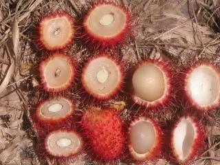 Gambar Aneka jenis buah rambutan berdasarkan besar kecilnya biji