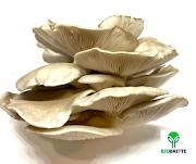 Mushroom Contract Farming | Sangli | Kolhapur | Maharashtra