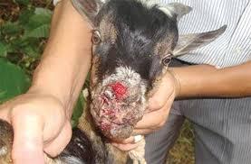 Xin cho biết biện pháp chữa trị dê nuôi bị lở môi ?