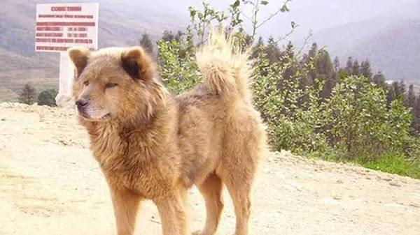 Bốn giống chó quý của Việt Nam được liệt vào hàng Quốc khuyển