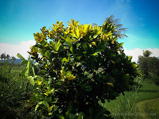 Garden Croton Or Codiaeum Variegatum Plant Grow In The Farmfield, Ringdikit, North Bali, Indonesia