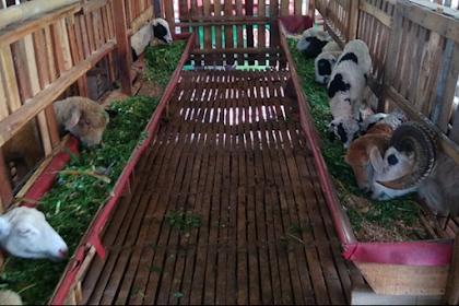 Gejala & Pengobatan Penyakit Ternak Kambing Domba