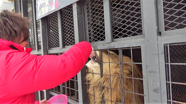 北海道 札幌 ノースサファリサッポロ ライオンのエサやり体験