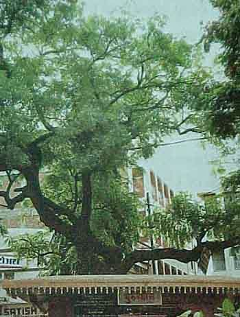 The Holy Neem tree