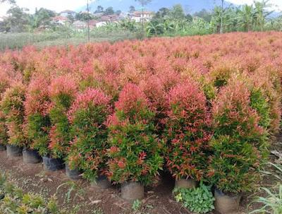 Jual bibit pohon pucuk merah di bubulak bogor | tukang rumput bogor