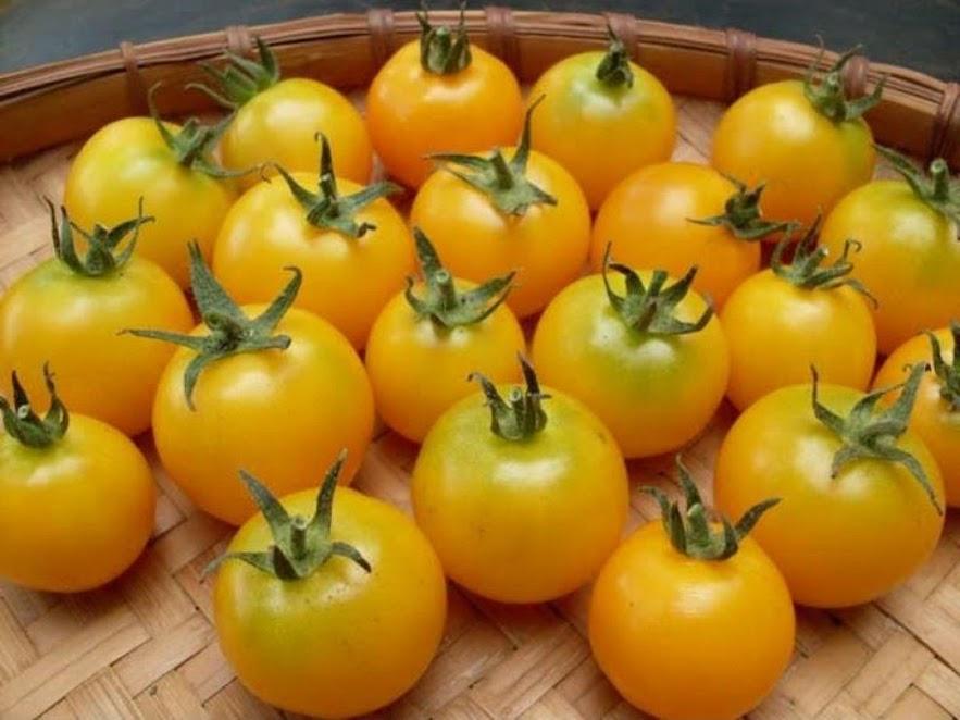 Amefurashi 50 Biji Benih Yellow Cherry Tomato Tomat Ceri Kuning Samarinda
