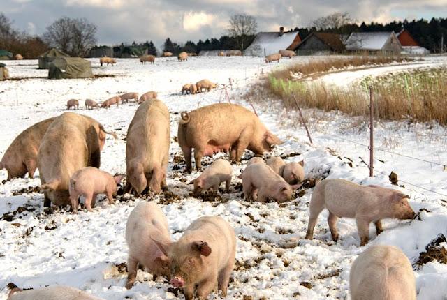 Drei Verhaltensweisen, die beweisen: In jedem Hausschwein steckt ein Wildschwein