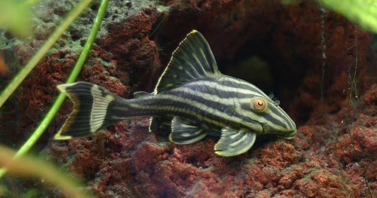 Bagaimana Cara Ikan Sapu Sapu Bernapas Dalam Lumpur Belajar Sampai Mati