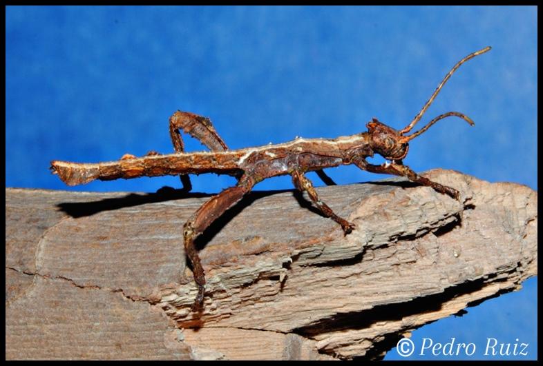 Ninfa macho L1 de Heteropteryx dilatata, 2,5 cm de longitud