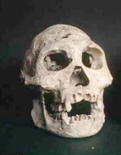 Homo georgicus skull