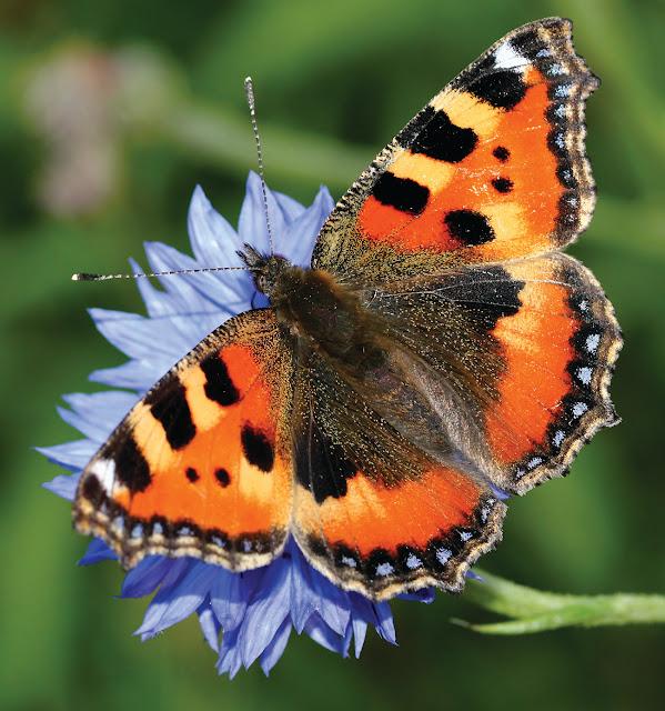 butterfly, papiliones, jonathan-bradley