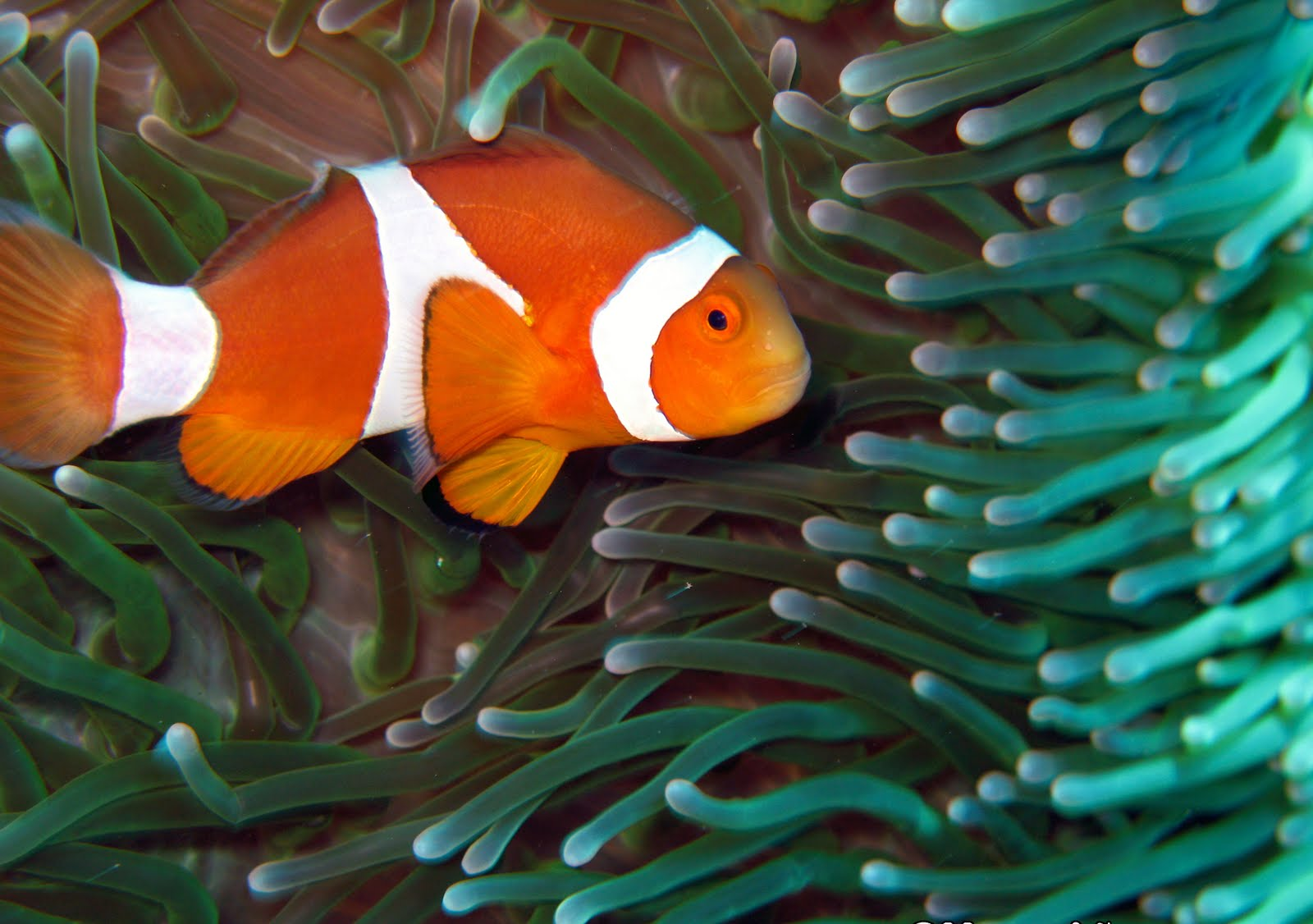 Nemo fish fun animals wiki videos pictures stories for Fish for pets