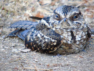 Common Pauraque (Nyctidromus albicollis) Close up photo of nightjar on ground