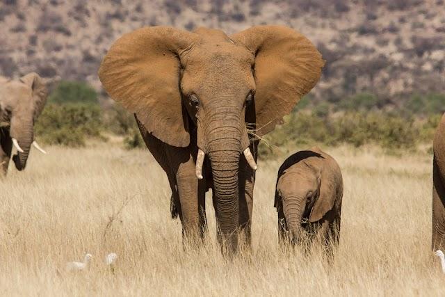 Dos especies de elefantes africanos están en peligro de extinción