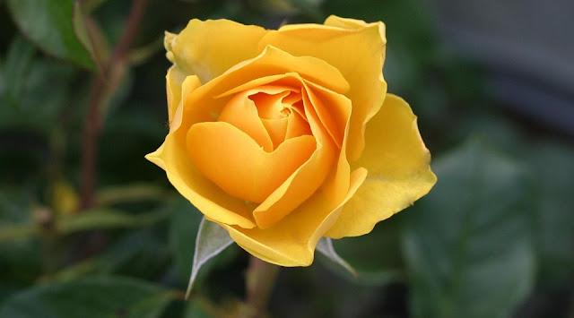 زهرة صفراء اللون - Yellow Color Flower
