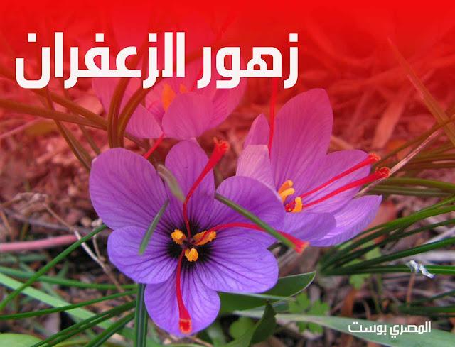 زهور الزعفران - ورد الزعفران - صور ورد