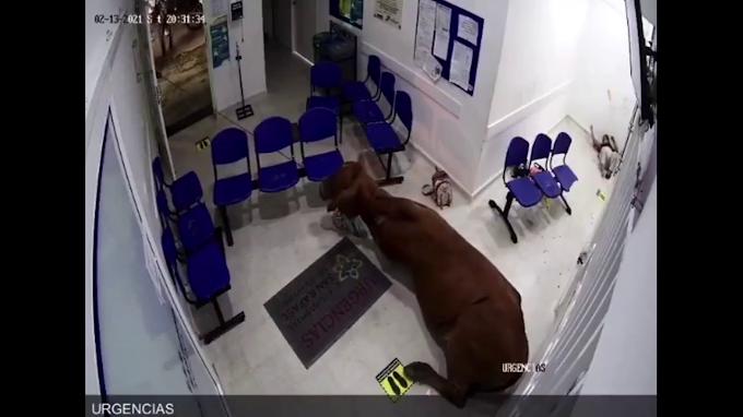 En Colombia, una vaca se escapa del campo y se cuela en un hospital
