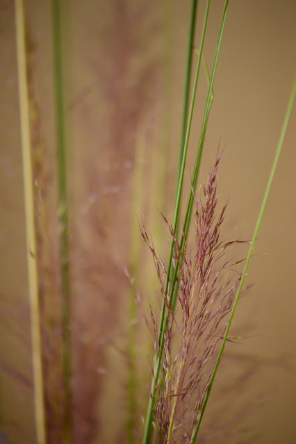 "Muhlenbergia capilliaris ""Regal Mist"", small sunny garden, desert garden, pink muhly grass, flower arranging, monday vase meme"