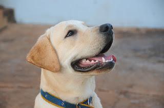 displasia da anca em cães