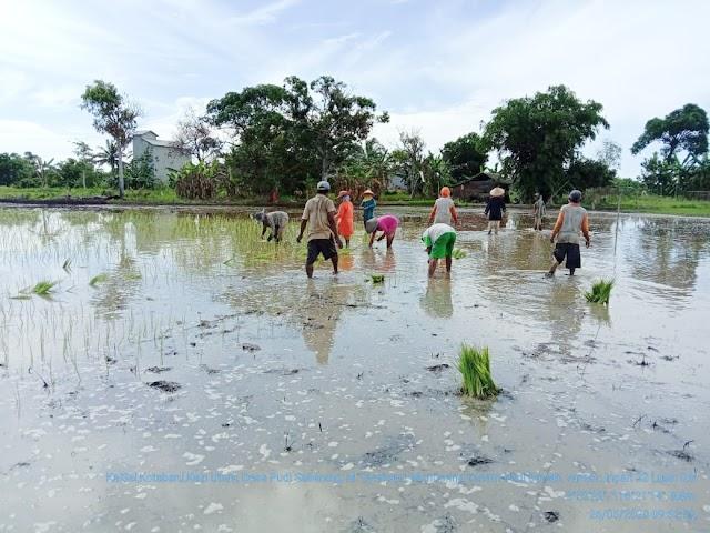 Dua Hari Pasca Lebaran, Petani Kotabaru Gotong Royong Tanam Padi