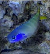 Ikan Hias Air Laut Tilefish