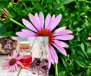 Types Of Herbs Echinacea