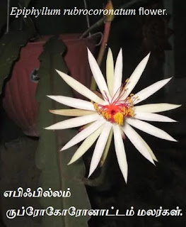Epiphyllum rubrocoronatum flower