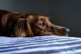 equilíbrio e propriocepção de cães