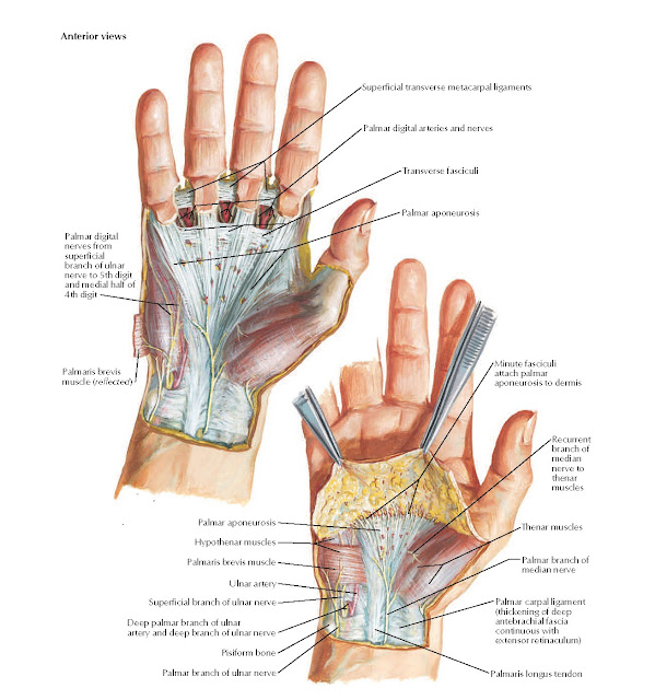 Wrist and Hand: Superficial Palmar Dissections Anatomy