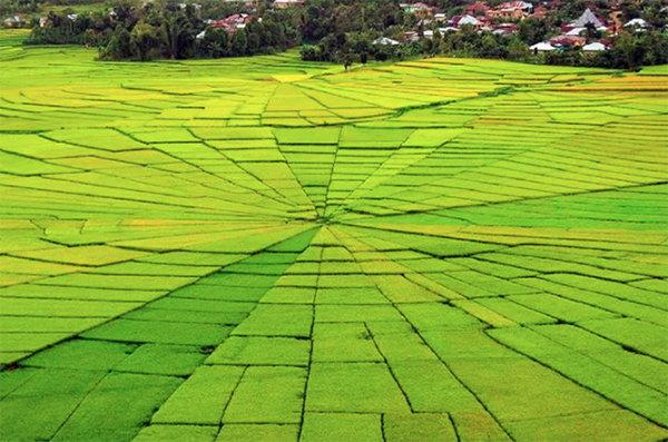 蜘蛛網稻田(Cancar Spider Web Rice Field / Lingko Lodok)