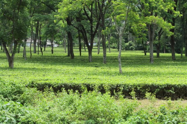 Tea Gardens of Assam as seen from Vivek Express, India;s longest train