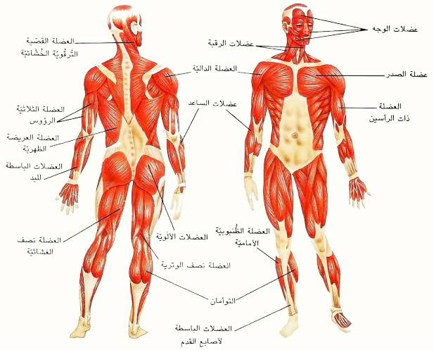 كم عدد عضلات جسم الانسان وما هي أنواع عضلات جسم الإنسان ومكونات الجهاز العضلي 5