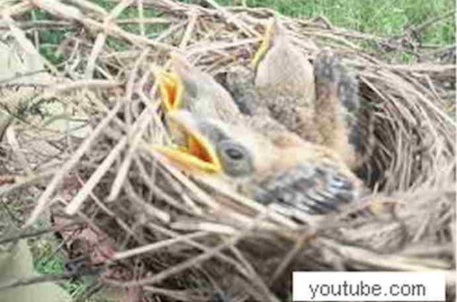anak burung pentet