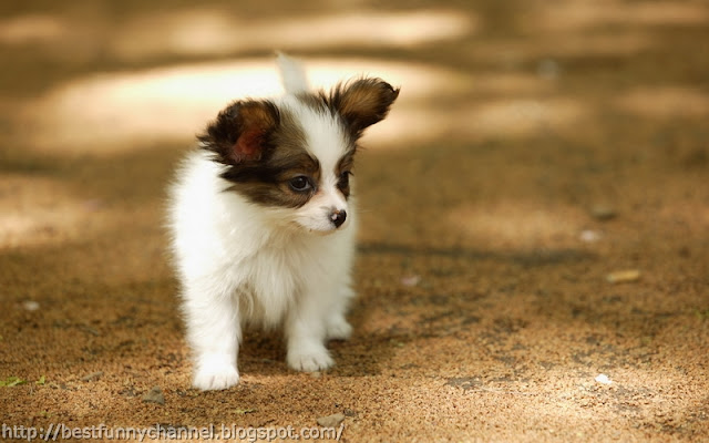 cute tiny dogs 9