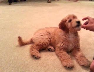 F2 Goldendoodle Temperament, Size, LifeSpan, Adoption, Price