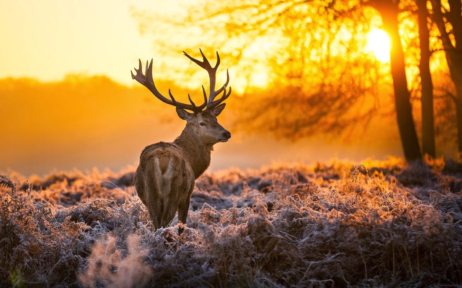 rusa-hewan-alam-hutan-pohon-matahari terbenam-foto-wallpaper-1680x1050