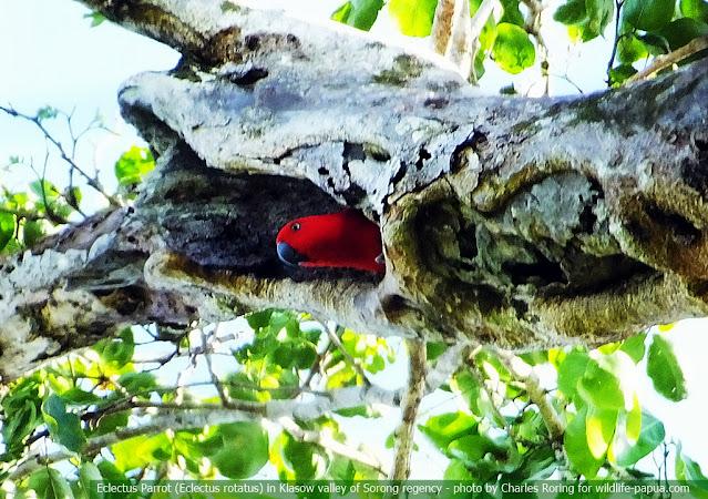 female Eclectus Parrot (Eclectus roratus) in Klasow valley of Sorong regency