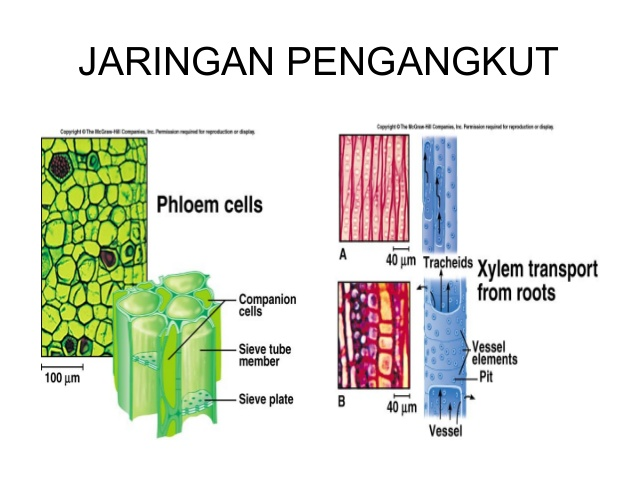 Makalah Struktur Dan Fungsi Jaringan Tumbuhan Terlengkap Ngenolz Com