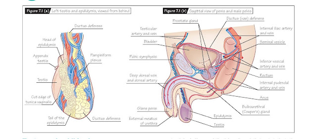 Gross Anatomy Of The Male Reproductive Tract, Testes and epididymis, Vas (ductus) deferens and seminal vesicles, Prostate gland, Penis