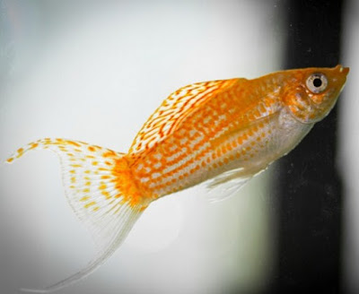 Ikan Hias Kecil - Ikan Molly