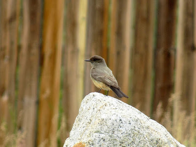 Volunteer Species – a Say's Phoebe; Photo Taken at the Visitor's Center