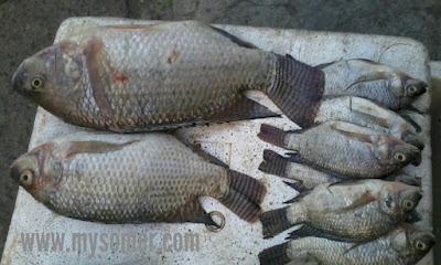 tips memilih ikan tawar yang masih segar