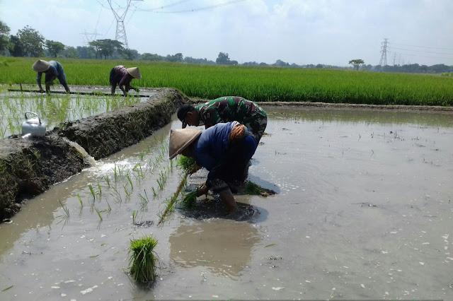 Babinsa Koramil Karangdowo Dampingi Petani Tanam Padi