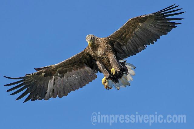 Eagle fly in sky